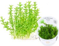 Gratiola viscidula 1-2-Grow