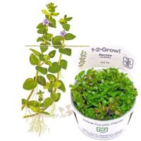 Bacopa caroliniana 1-2-Grow!