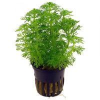 Limnophila sessiliflora potted