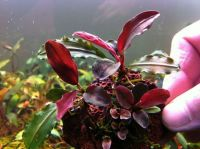 Bucephalandra sp. 'Red'