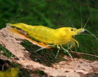 Yellow -Neocaridina heteropoda var. yellow